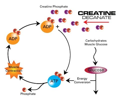 creatine health benefits benefits of creatine reviewing a must supplement