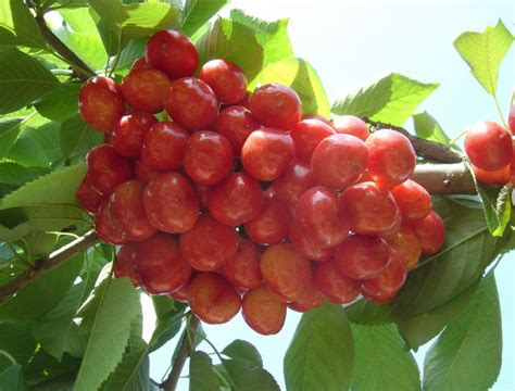 fruit tree seeds for sale high quality cherry seeds for sale delicious fruit