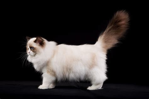 ragdoll kitten price ragdoll cat price range ragdoll kittens for sale cost