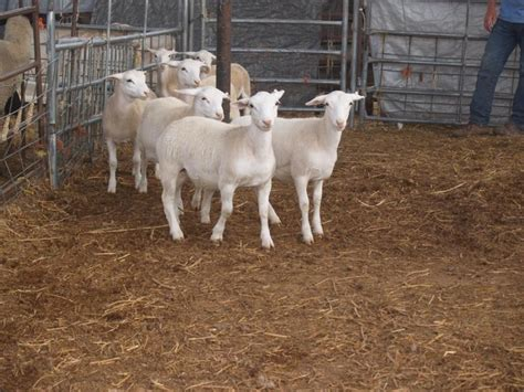 Self Shedding Sheep Breeds by White Dorper Sheep Farms Pictures To Pin On
