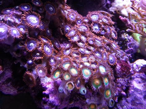 Coral Lighting by Atlantik Leds Are Designed Specifically For Growing Corals