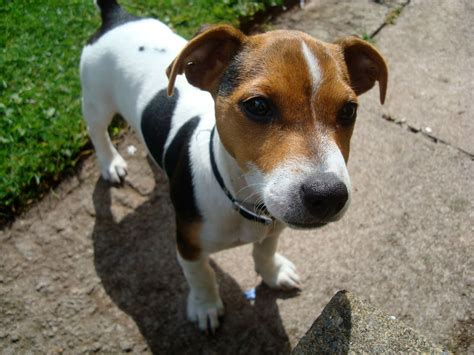 imagenes of jack russell jack russel hd wallpapers