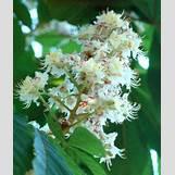 Black Birch Tree Identification | 300 x 356 jpeg 85kB