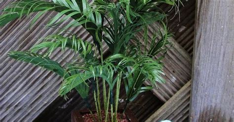 artificial palm tree for dollhouse how to make a miniature palm type plant source titanic in miniatuur dollhouse gardening