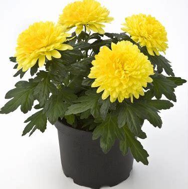 Pot Gantung Bunga Gardenia No 6 tanaman hias pemurni udara bagian 2 di sini