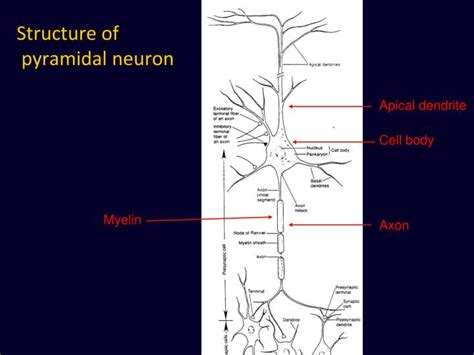 Chandelier Cells Ppt Introduction To Neurons Powerpoint Presentation Id