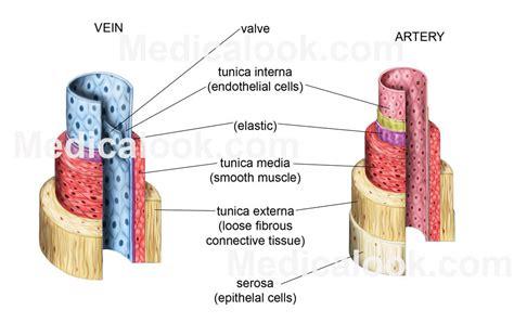 diagram of a vein kloovimapnsur human veins and arteries diagram