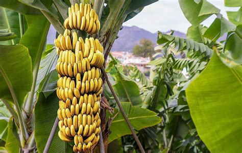 bananas on tree 13 foods that have more potassium than a banana prevention