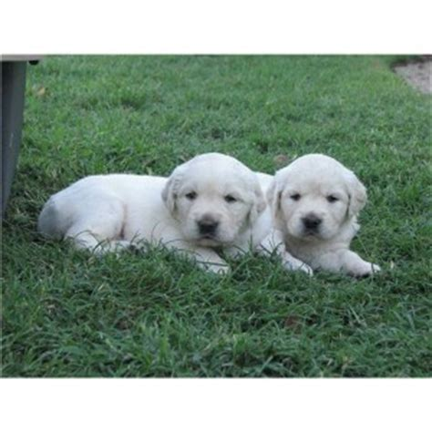golden retriever puppies amarillo tx dogs amarillo tx free classified ads
