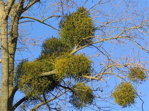 mistletoe plant poison christmas britannica com