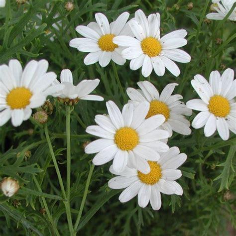 imagenes de gerberas blancas margaridas no co hd imagenswiki com