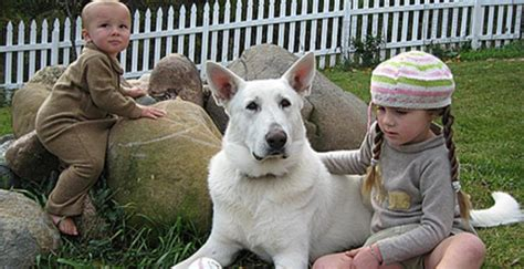 white german shepherd puppies for sale in pa ravenswood hollow east troy wi 53120 business listings directory powered by