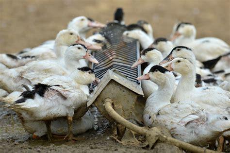 Bibit Bebek Ternak bisnis ternak bebek padaging sarungpreneur