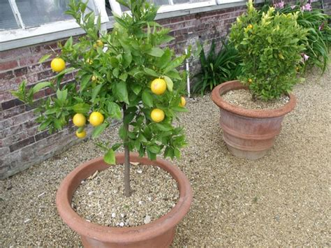 When Do Citrus Trees Bear Fruit - quando potare il limone potatura potatura limoni