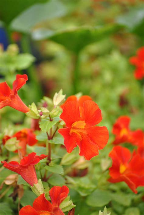 roter fächerahorn kaufen gauklerblume rot mimulus cupreus quot roter kaiser quot