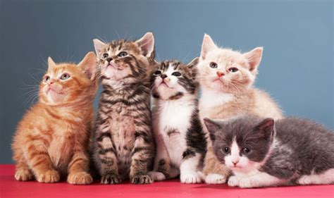 here s how to get cute kittens delivered to your home today nature news express co uk