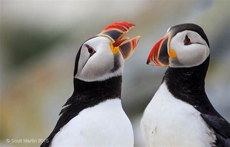 top 28 puffin bird sound atlantic puffin fratercula