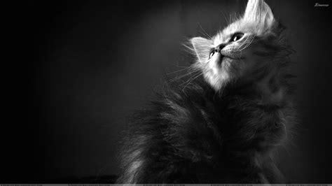 wallpaper black n white black n white cat looking up wallpaper