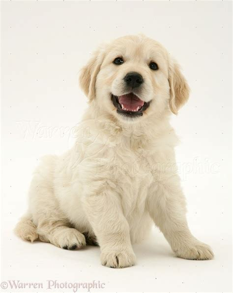 golden retriever puppy white spot on 1000 ideas about happy puppy on puppies dogs