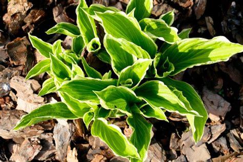 wann stauden umpflanzen funkien 187 pflanzen pflegen vermehren und mehr