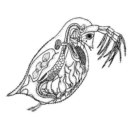 Pakan Ikan Daphnia media penyuluhan perikanan kultur pakan alami kutu air