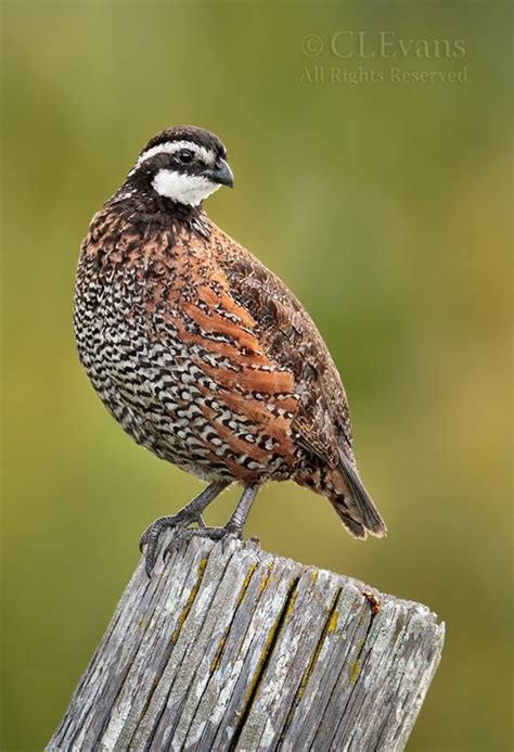38 best images about bobwhite quail for brandon on