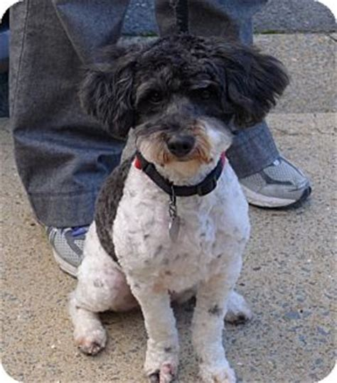havanese miniature poodle mix peluche adopted allentown pa poodle miniature havanese mix