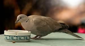 what do doves eat