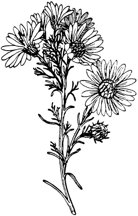 aster flower tattoo designs aster coloring tattoos aster flower