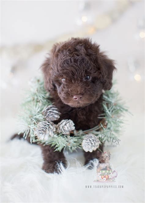 chocolate poodle puppies for sale bulldog puppy for sale south florida teacups