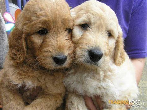 golden retriever puppies brisbane groodle puppies at puppy shack brisbane o7 3356 6319 for sale in brisbane qld groodle puppies at puppy shack brisbane o7 3356 6319
