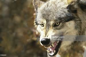 wolf with snarling wolf stock photo getty images