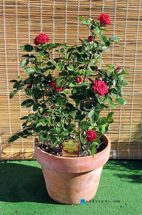 tips on planting quot climbing roses quot on a rose trellis my gardening rose garden tips and ideas gardening landscape