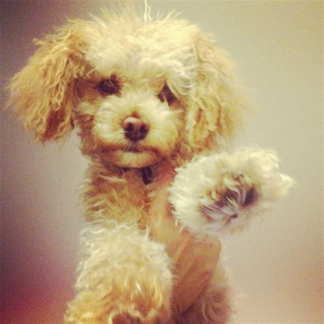 toy poodle haircuts pictures the gallery for gt apricot toy poodle haircuts