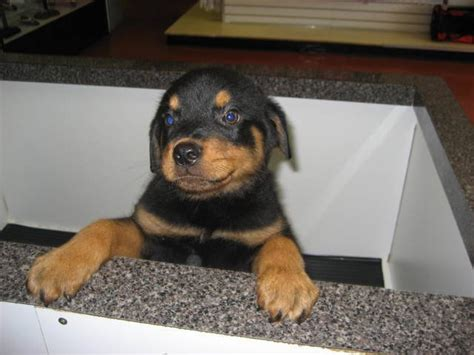 rottweiler puppies for sale in ny rottweiler puppies for sale now for sale adoption from bellmore new york nassau