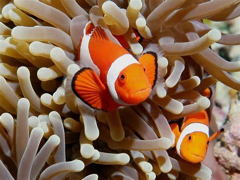 Ikan Nemo clown fish animals wiki pictures stories