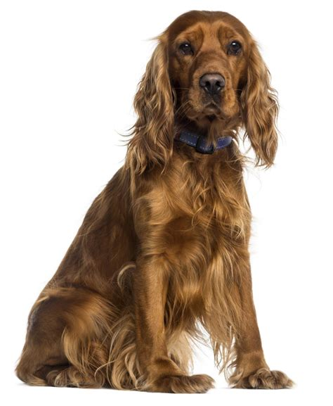 golden retriever and cocker spaniel facts about the truly amazing golden retriever cocker spaniel mix