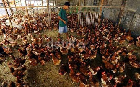 Bibit Ayam Broiler Per Ekor kemendag khawatir soal rencana pemusnahan 6 juta bibit ayam