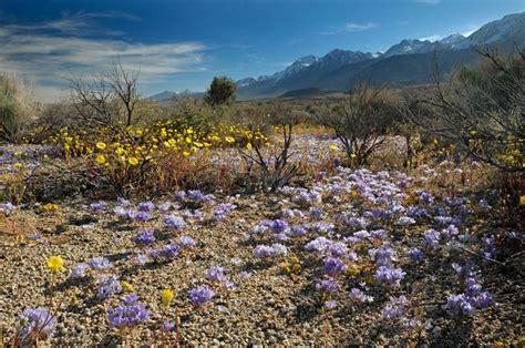 california desert flowers california desert flowers photos