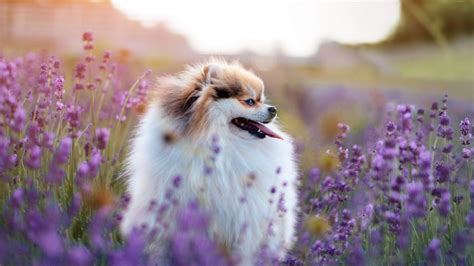 essential oils safe for dogs are essential oils safe for your rover