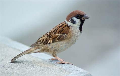 sparrow flying wallpaper