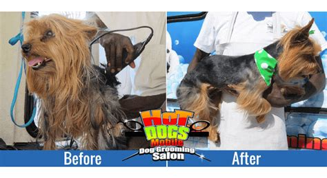 before and after pics of yorkie haircuts before and after pics of yorkie haircuts haircuts models