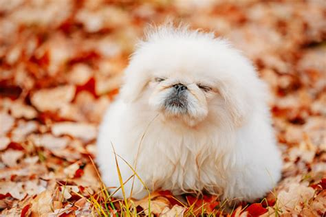 how much do breeders make pekingese dogs and puppies breeds journal