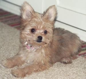 yorkie mixed chihuahua all about the chorkie the yorkie chihuahua mix dogable