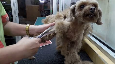 how to groom a matted poodle poodle quot heavily matted quot grooming jy pet salon