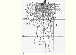 vegetable root depth garden plant roots depth pdf