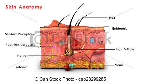skin layers healthy normal human skin royalty free vector skin anatomy the human skin is the outer covering of the stock illustration search eps