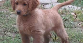 do golden retrievers make guard dogs we need a guard for our business since it animals at repinned net