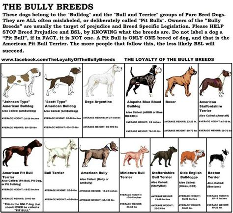 bully breeds types of bully breed dogs breeds picture