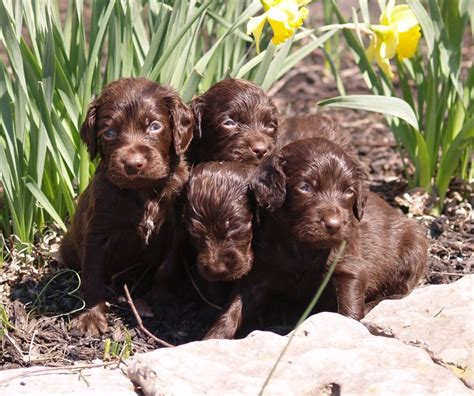 boykin spaniel puppies purebred boykin spaniel puppies for sale find a purebred breeder near you
